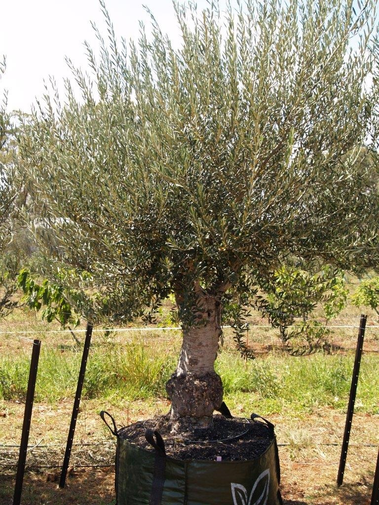 Olive Nursery
