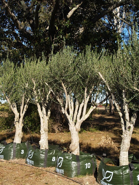 Mature olive tree cost