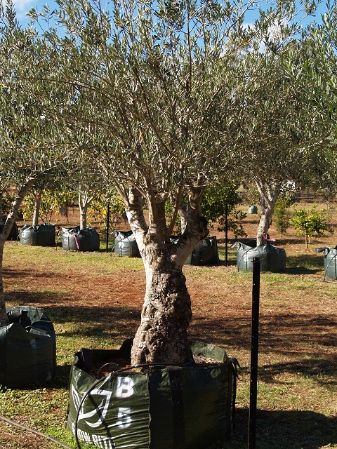 Mature bay trees for sale