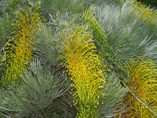 Australis plants grafted grevilleas grevillea formosa mt brockman standard and lowgraft mightylinksfo